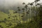 Óriás viaszpálma, a legmagasabb pálmaféle