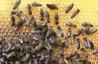 Apiterápia - Méhtermékek gyógyászati felhasználása