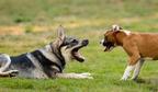 Békülékenyebbek a farkasok, mint a kutyák?