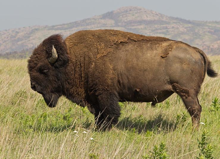 amerikai bölény (Bison bison) w.jpg