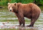 Kamcsatkai barna medve (Ursus arctos beringianus)