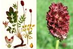 Őszi vérfű, láprétek gyógyító növénye