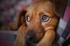 Mit jelezhet, ha kutyánk különösen érzékeny a zajra?