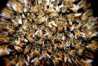 Minél nagyobb egy méhkolónia, annál csendesebb