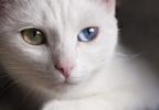 A fehér cicák tényleg nem hallanak?