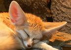 Nagy fülekkel a hőség ellen