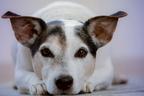 A kutyák füleinek gondozásáról