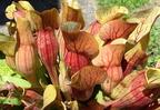 Kürtvirágok nyomában