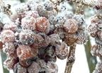 Jégborok fagyott szőlőszemekből