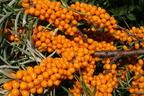 Homoktovis, egy kiváló tápértékű bogyós gyümölcs