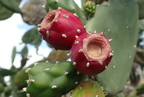 Bíbortermő kaktusz (Opuntia cochenillifera)