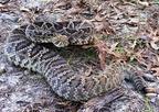 Gyémánt csörgőkígyó (Crotalus adamanteus)