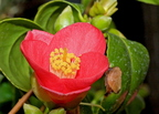 Japán kamélia (Camellia japonica)