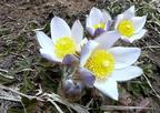 Tavaszi kökörcsin (Pulsatilla vernalis)