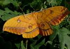 Tölgy-pávaszem (Antheraea yamamai)