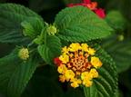 Hogyan termeszthető a sétányrózsa?
