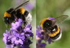 Poszméhekkel a bőséges termésért