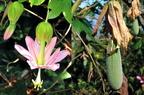 Kuruba (Passiflora tarminiana)