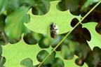 Magányosan élő méhek