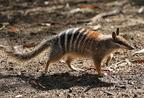 Numbat - Ausztrália ritka erszényese