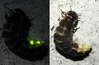 Mitől világít a szentjánosbogár?