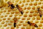 Miért hatszögletűek a méhek lépsejtjei?