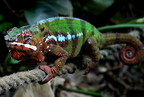 Párduckaméleon (Furcifer pardalis)