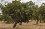Paratölgy (Quercus suber)