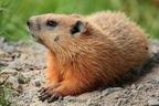 Erdei mormota (Marmota monax)