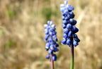 Melyek a geofiton növények?