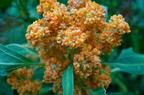 Kinoa (Chenopodium quinoa)