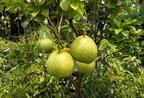 Honnan származik a pomelo?