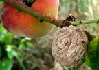 Monília, penészgombák okozta növénybetegség