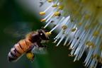 Miért gyűjtenek a méhek virágport?