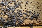 Miért annyira tápláló a méhkenyér?