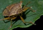 Milyen természetes ellenségei vannak a burgonyabogárnak?