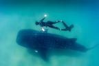 Cetcápa, a legnagyobb a cápák között