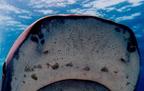 Lorenzini-ampullák, a halak különleges érzékelői