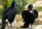 Abesszin szarvasvarjú (Bucorvus abyssinicus)