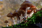 Fenyő tőkegomba (Galerina marginata)