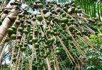 Bételdió (Areca catechu)