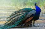 Kék páva (Pavo cristatus)