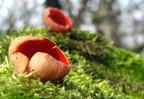 Tavaszváró csészegombák