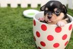 Miért veszélyes a kutyákra  a csokoládé?