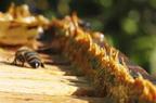 Hogyan készítik a méhek a propoliszt?