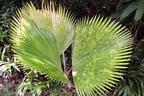 Nagy bokorpálma (Licuala grandis)