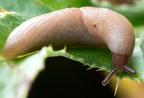 Mezei televénycsiga (Deroceras agreste)