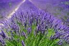 Migréncsillapító gyógynövények