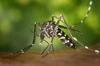 Ázsiai tigrisszúnyogok a Kárpát-medencében