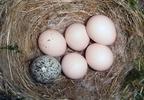 Mit nevezünk fészekparazitizmusnak?